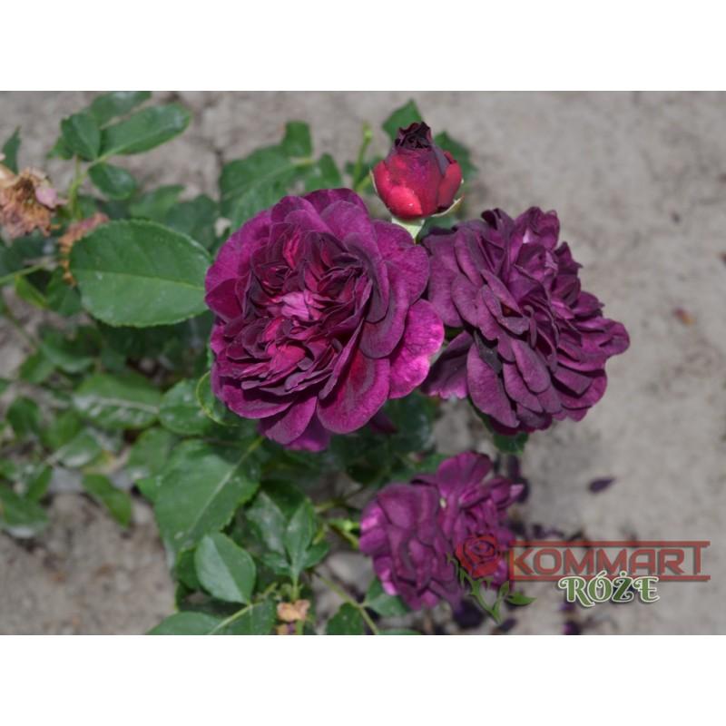 Róża parkowa łososiowa (PR01)