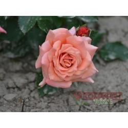 Róża pnąca bordowa (PN02)