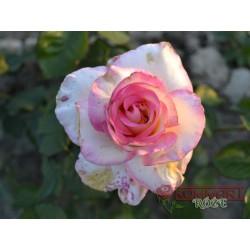 Wielkokwiatowa herbaciana (WK05)