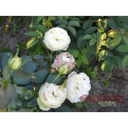 Wielkokwiatowa Biała (WK06)