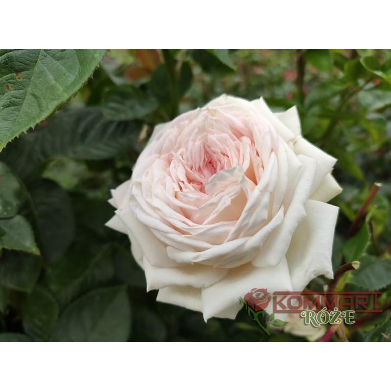 Rabatowa biało-czerwona (RB04)