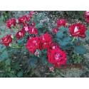 Róża parkowa pomarańczowa (PR02)